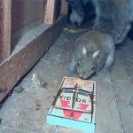 ネズミ捕り器に頭をバチン!と叩かれ硬直する野生のリス。その直後・・・。