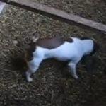 鳥小屋にいる大量のネズミを一匹残らず殺しまくる犬の動画。