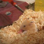 【閲覧注意】ハムスターが生まれたばかりの我が子を食べてしまうグロ動画。