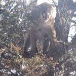 【閲覧注意】木の上のピューマをクロスボウで撃ち抜いて殺すグロ動画。