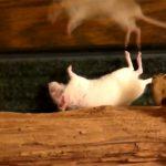 ガラガラヘビに噛まれたネズミが息絶えるまでの映像。
