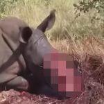 【閲覧注意】これはエグイ・・・密猟され生きたままツノを切り取られるサイのグロ動画。