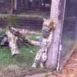 ヒョウの檻に侵入した野生のリス、そのまま食べられてしまう。