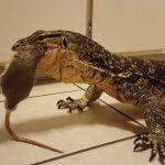 【閲覧注意】生きたままネズミをオオトカゲに食べさせるグロ動画。