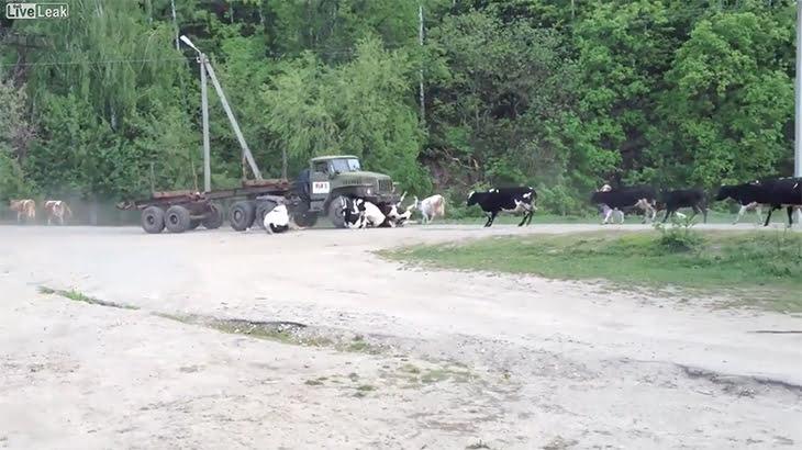 ブレーキが効かなくなったトラックが牛の群れに突っ込んでしまう動画。
