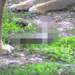 【閲覧注意】ライオンの檻に飛び込んだ猫、圧倒的な力の差で殺されるグロ動画。