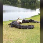 ゴルフどころじゃねぇ・・・巨大なワニ2匹が殺し合う動画。