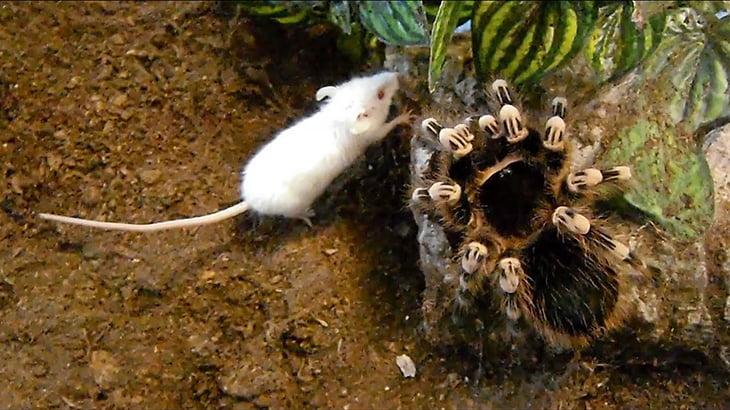 【閲覧注意】世界一大きなクモ「ゴライアスバードイーター」がネズミを捕食するグロ動画。