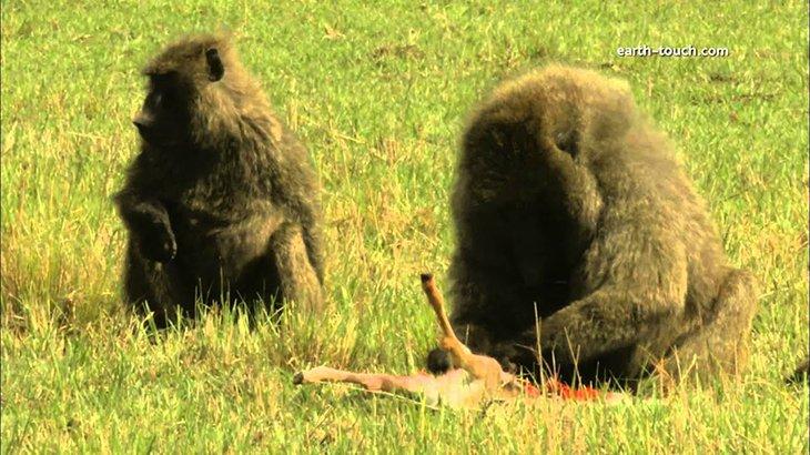 【超!閲覧注意】巨大なサルがガゼルを生きたまま食べてしまうグロ動画。
