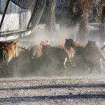 見世物として生きたヤギをトラの檻に放り投げる中国の動物園。
