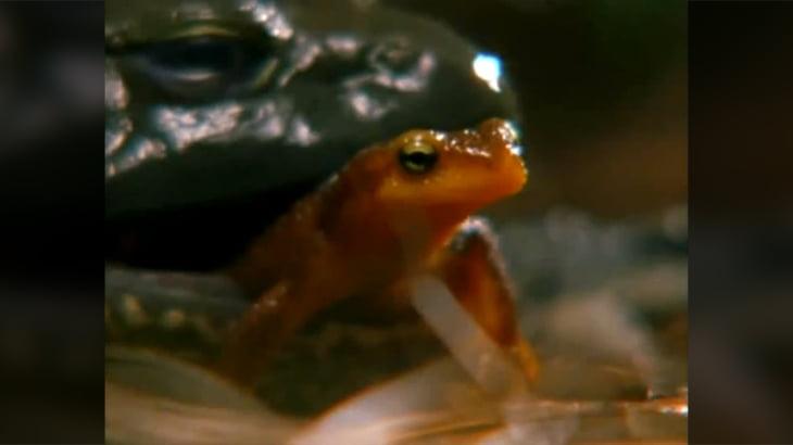 猛毒を持ったイモリを食べて即死亡するカエルの動画。