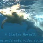 アカウミガメの硬い甲羅すら噛み砕くイタチザメの捕食動画。