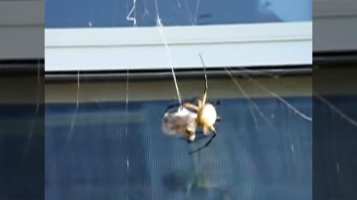 大きなススメバチを蜘蛛の巣に貼り付けてみた → 一瞬でぐるぐる巻きに。