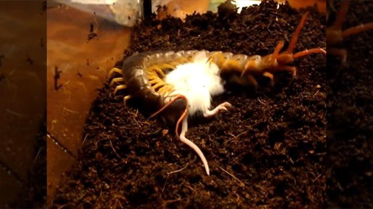 【閲覧注意】巨大ムカデのゲージに入れられたネズミが一瞬で捕食されてしまう動画。