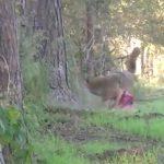 【閲覧注意】ハンターに腹を撃ち抜かれて腸が飛び出してしまったコヨーテのグロ動画。