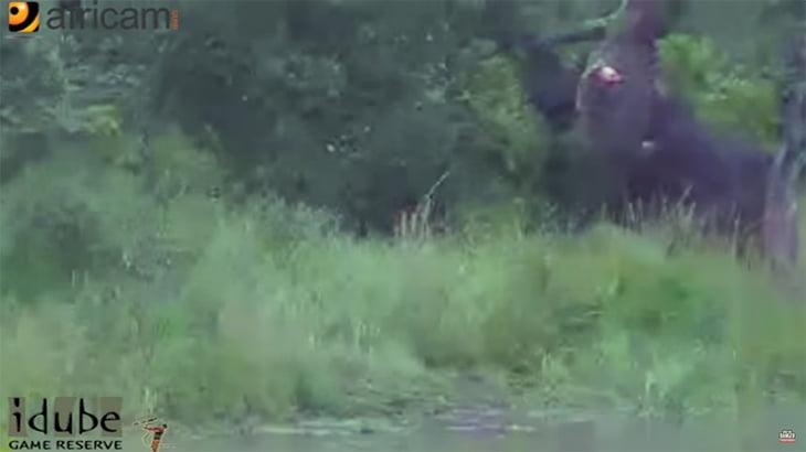 バッファローの足に噛み付いたワニがツノで腹を突き破られる動画。