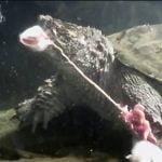 【閲覧注意】ネズミを溺死させて腹を裂いて食べるカメのグロ動画。