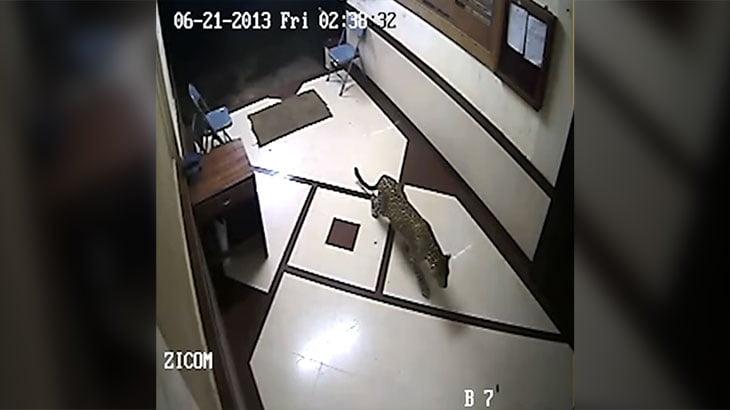 インドのアパートに野生のヒョウが侵入。犬を一瞬で噛み殺す。