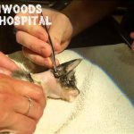 """【閲覧注意】子猫の首に寄生した """"ボットフライ"""" を摘出するグロ動画。"""
