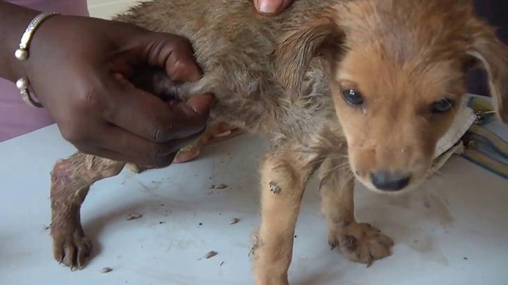 【閲覧注意】生きている犬の体内から大量のウジ虫を摘出するグロ動画。
