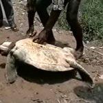 【閲覧注意】大きなカメを生きたまま解体するグロ動画。