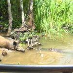 【衝撃映像】ワニに野生のブタを食べさせるツアー、見たいですか?