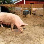 【閲覧注意】我が子を食べる豚、狂気を感じるグロ動画。