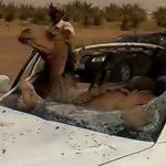 車との衝突事故。ぶつかったのはラクダ。