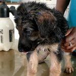 【閲覧注意】体の隅々までワームに寄生された子犬のグロ動画。