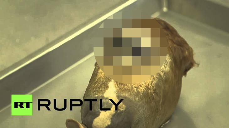 【閲覧注意】目が融合してしまった馬の頭部、サイクロプスの動画。