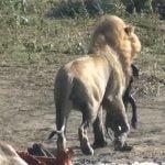 【閲覧注意】バッファローを仕留めたライオン、腹から子供を引きずり出して食べるグロ動画。