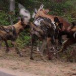 【閲覧注意】インパラがリカオンの群れに生きたまま食われるグロ動画。