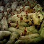 【閲覧注意】動物愛護団体がアップしたグロ動画。豚肉、鶏肉、タマゴができるまで。