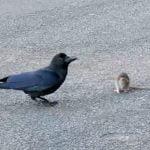"""ネズミをからかって遊ぶ """"日本のカラス"""" がまるでポケモンのようだと話題に。"""
