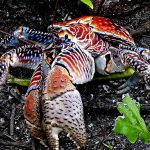 """甲殻類最大の """"ヤシガニ"""" は、カモメすら捕食する。"""
