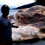 """インドネシアの島に漂着した """"謎の巨大生物(15メートル)"""" の死体。"""