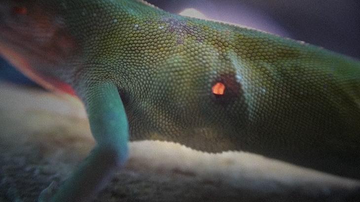 """【衝撃映像】身体の内側から """"少しずつ食われる"""" トカゲのグロ動画が怖すぎる・・・。"""