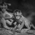 【閲覧注意】死んだ猿が妊娠していたのでその場で帝王切開。