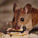 高電圧を流してネズミを捕獲するDIY装置。一斉に気絶するネズミ。