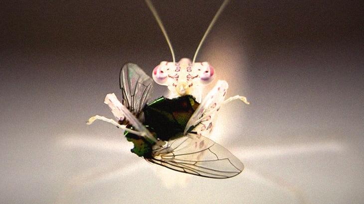 """【捕食動画】""""半透明のカマキリ"""" がハエを食べる様子が美しくもグロい。"""