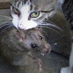 """【閲覧注意】猫がネズミを """"噛み殺す"""" グロ動画を高画質で。"""