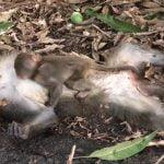 """死んだ母親に気付かず """"必死にしがみつく赤ちゃん猿"""" が切なすぎる。"""