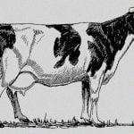 """生まれたばかりの赤ちゃんを """"牛の胃の中に入れる"""" 奇妙な儀式。"""