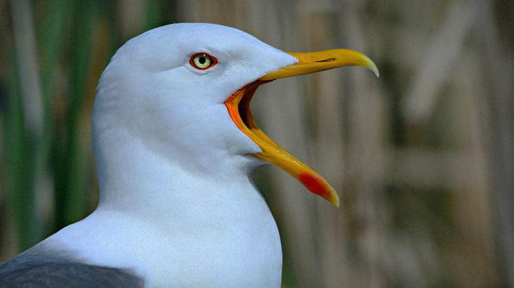 【捕食動画】カモメさん、別種の鳥を丸呑みしてしまう。