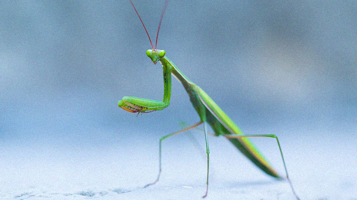【捕食動画】昆虫界のハンター「カマキリ」の捕食シーンがグロいけどついつい見ちゃう。