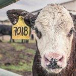 【超!閲覧注意】中国人、生きたまま牛をさばいてしまうグロ動画・・・。