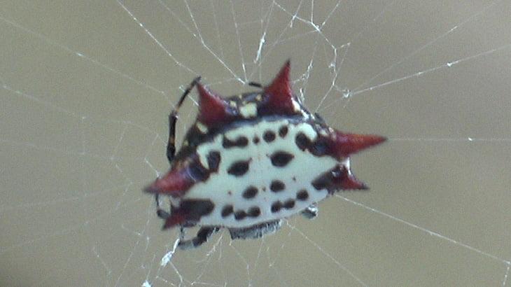 【捕食動画】身体にトゲを持つ奇妙すぎるクモ「オーブウィーバー」。