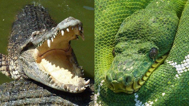 「4メートルの巨大ワニ」v.s「5メートルの巨大ヘビ」勝敗やいかに。