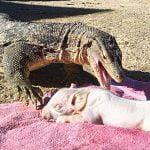 【捕食動画】ペットのコモドオオトカゲに子豚を食べさせてみたよ!→ 炎上。
