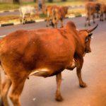 【衝撃映像】何かが気に入らなかった牛、走行中のバイクを吹き飛ばす。